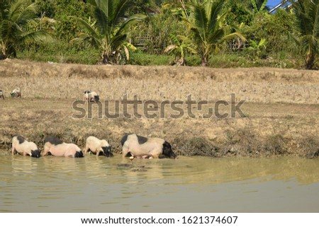 this pic show a lot miniature pig cultured and playing in pond at open outdoor rearing farm #1621374607