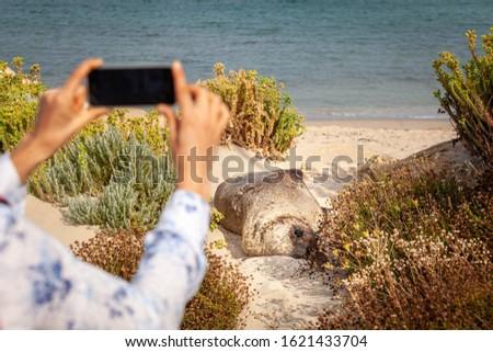Tourist taking photos on mobile phone of Australian fur seal on the beach