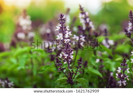 Organic Holy Basil or Tulasi with flowers in a greenhouse at sunrise. Close-up. Focus on inflorescence. Royalty-Free Stock Photo #1621762909