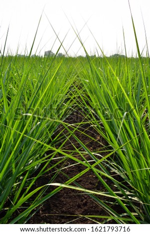 Healthy and Growing Sugarcane or Sugar cane crop (Saccharum officinarum L). Crop planting at field. Organic field. #1621793716