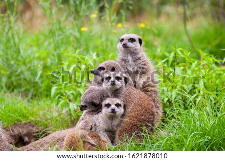 A cosy Meerkat family sitting close together, hugging each other, on the look-out in vibrant green tall grass. Meerkats from different ages.