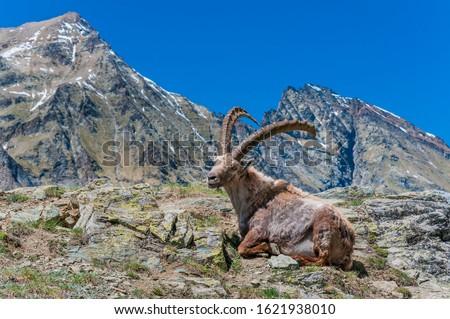Alpine Ibex or Capra Ibex, Gran Paradiso National Park, Aosta Valley, Italy #1621938010