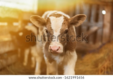 Cute calf looks into the object. A cow stands inside a ranch next to hay and other calves. Royalty-Free Stock Photo #1621991656