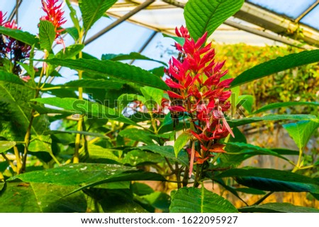 flowers and leaves of a brazilian red cloak in closeup, tropical ornamental shrub from America #1622095927