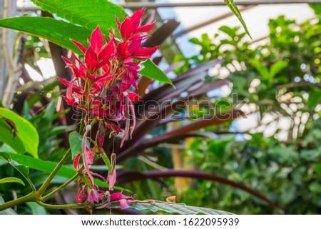 brazilian red cloak flowers in closeup, tropical ornamental shrub from America #1622095939