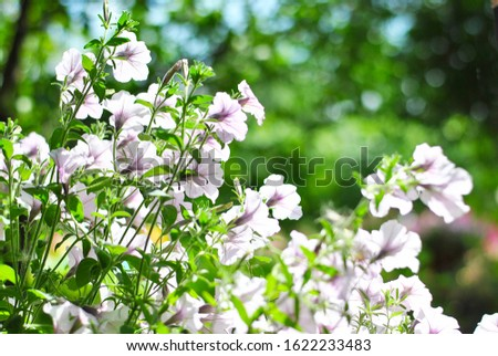 Beautiful violet petunia flowers in the garden pot lightened by sunshine background picture. Spring gardening time, summer blooming yard on the fresh air