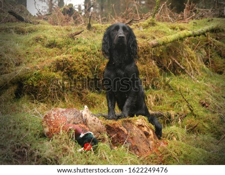 "The English Cocker Spaniel is an active, good-natured, sporting dog standing well up at the withers and compactly built. There are ""field"" or ""working"" cockers and ""show"" cockers. #1622249476"