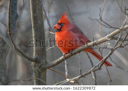 The cardinal is the state bird of Illinois, Indiana, Ohio, Kentucky, North Carolina, Virginia, and West Virginia. The cardinal in this picture pops out with the neutral background.