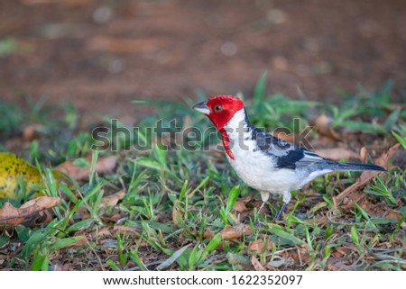 Red-cowled Cardinal ( Paroaria dominicana): Exotic bird with red head and white-gray body. Picture taken at the Federal University of Sao Carlos ( UFSCar), SP, Brazil.