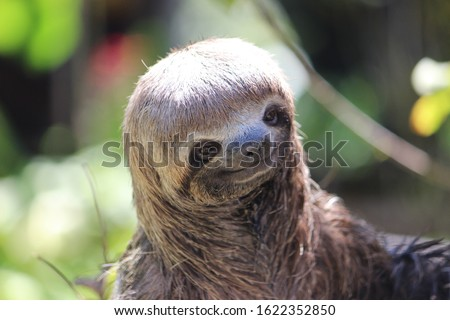 Portrait of a wildlife sloth in the amazonian rain forest near to Leticia Colombia
