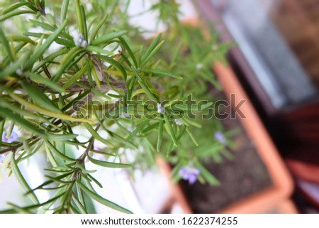 Fresh Rosemary herb with a purple flower in garden pot on a windowsill. Selective focused picture of aromatic plant, this herbal bush is usually the ingredient of food and drink.