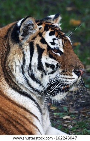 Close up with a beautiful Siberian tiger female. Side face portrait of the lying biggest cat with open chaps. The most dangerous and mighty beast of the world. The very powerful and dodgy raptor. #162243047