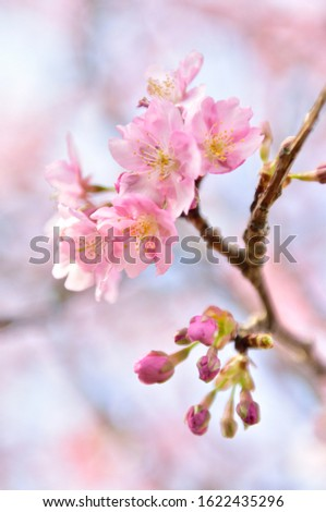 Cherry blossoms are the symbol of spring in Japan. Spring in Japan is known for the blooming of cherry blossoms. #1622435296