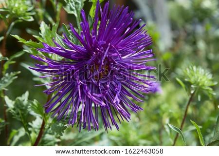 European chamomile Michaelmas (Aster amellus). Aster. Bright blue flower aster closeup. Nature. Bouquet of Flowering Callistephus chinensis. Lush fresh blue aster flowers grow in a flower garden. #1622463058