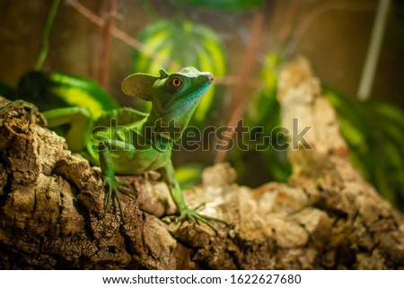 Picture of mud agama reptile in green environment.