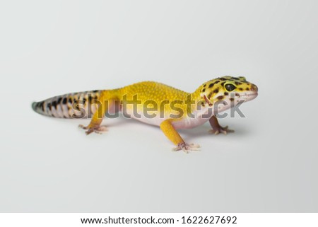 Picture of leopard gecko on white background.