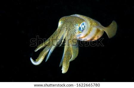 Amazing underwater world. Sepioteuthis lessoniana - Bigfin Reef Squid. Squids in the night. Black Water Diving. Underwater photography. Tulamben, Bali, Indonesia.