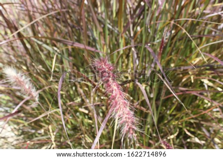 tall feathery plumes of grass 5168 #1622714896