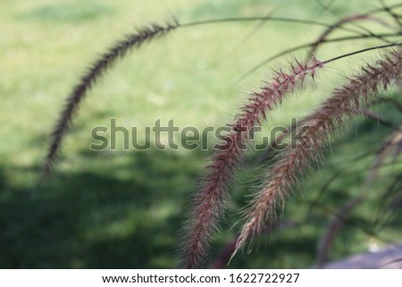 tall feathery plumes of grass 5846 #1622722927