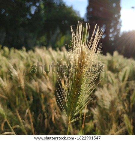 Rye: a species of Grass Family also known as cereal rye, cultivated annual rye, cultivated rye, ryecorn, it's botanical name is Secale cereale. #1622901547