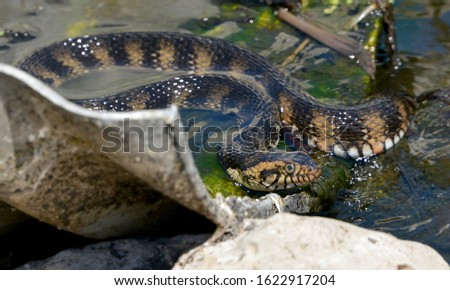 Banded Water Snake Taken at Circle B reserve in Florida Royalty-Free Stock Photo #1622917204
