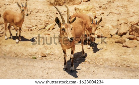 Three mountain goats in the color of a desert. Two ibexes in focus, one mountain ibex in a blurred background. #1623004234