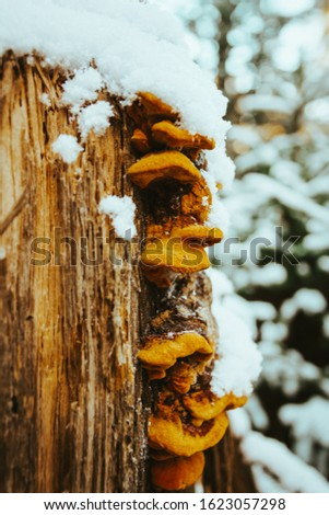a tree trunk with tree mushrooms in winter with snow #1623057298