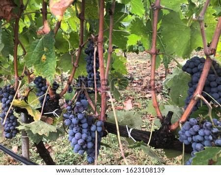 vineyard wine tuscany hills tuscany #1623108139