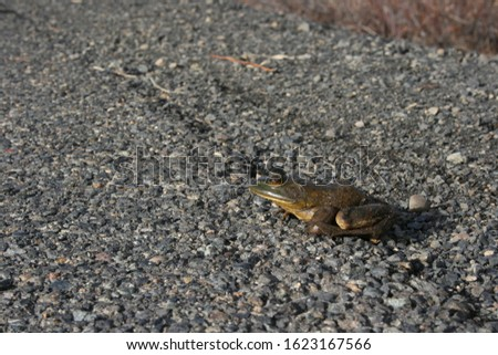 The American bullfrog, often simply known as the bullfrog in Canada and the United States, is an amphibious frog #1623167566