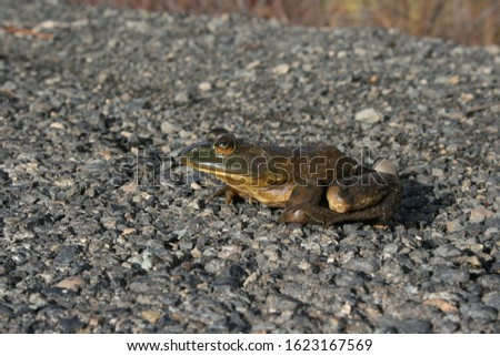 The American bullfrog, often simply known as the bullfrog in Canada and the United States, is an amphibious frog #1623167569