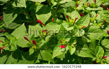 Mirabilis is a genus of plants in the family Nyctaginaceae known as the four-o'clocks or umbrellaworts. The best known species may be Mirabilis jalapa, the plant most commonly called four o'clock. #1623175348