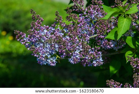 Syringa lilac species of flowering woody plants in the olive family native to woodland and scrub from southeastern Europe to eastern Asia and widely and commonly cultivated in temperate areas elsewher #1623180670