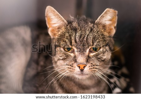 portrait of a domestic shorthair cat with the ear cropped and positive to feline coronavirus infection, feline immunodeficiency virus infection and renal failure Royalty-Free Stock Photo #1623198433