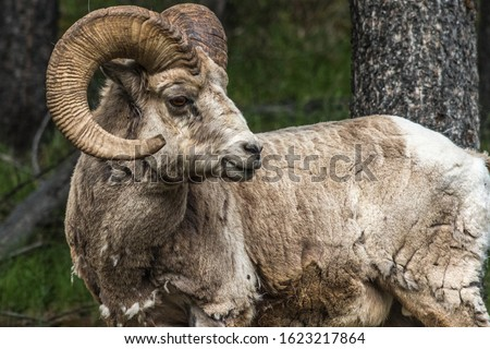 Canadian Rocky Mountain's Bighorn sheep (Ovis canadensis). Found along the Lake Minnewanka road in Banff National Park, Alberta, Canada. It is one of the most common wildlife species at the Rockies. #1623217864