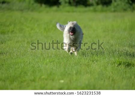 keeshond wolfspitz puppy running on green grass #1623231538