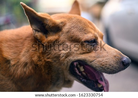 One of brown dog (pure breeds or Thai breeds)  #1623330754