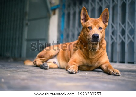 One of brown dog (pure breeds or Thai breeds)  #1623330757
