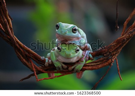 Two Australian white tree frog on branch, dumpy frog on leaves, animal closeup, amphibian closeup #1623368500