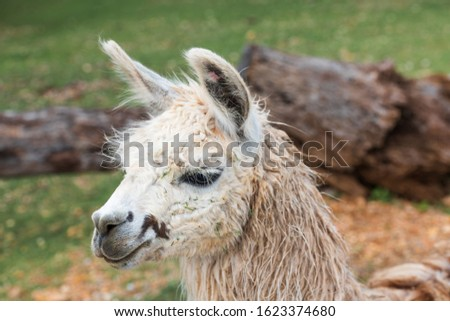 Close-up picture of alpaca head