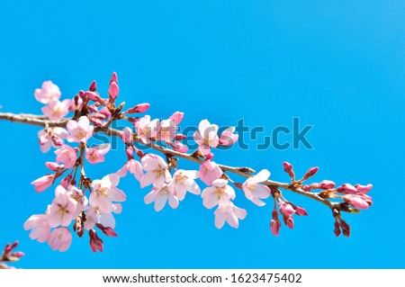 Cherry blossoms are the symbol of spring in Japan. Spring in Japan is known for the blooming of cherry blossoms. #1623475402