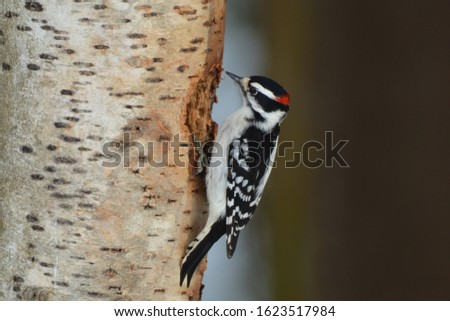 Male Hairy Woodpecker perched on a birch tree