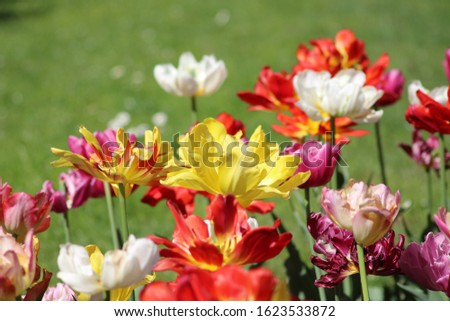 Blooming of wonderful tulips. Garden cosmos with red flowers, yellow flowers,white flowers and pink flowers. #1623533872