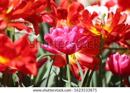 Blooming of wonderful tulips. Garden cosmos with red flowers, yellow flowers,white flowers and pink flowers. #1623533875