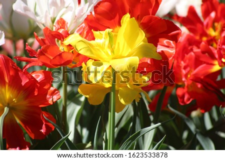 Blooming of wonderful tulips. Garden cosmos with red flowers, yellow flowers,white flowers and pink flowers. #1623533878