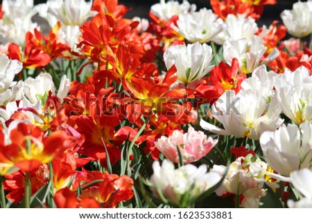 Blooming of wonderful tulips. Garden cosmos with red flowers, yellow flowers,white flowers and pink flowers. #1623533881