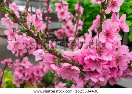 Cherry blossoms close up in the spring garden. A branch of a blossoming tree in the orchard during flowering. Blooming pink sakura macro in a Japanese park. #1623534430