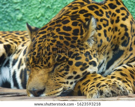 foreground of a leopard sleeping #1623593218