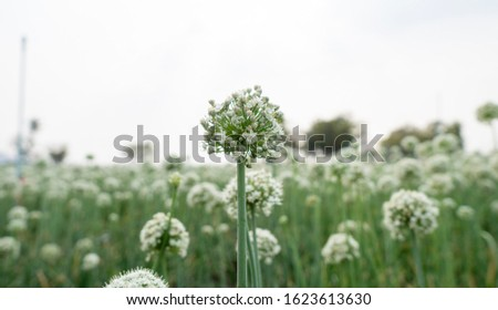 Blooming onion are round like white balls. Farmers will wait for the flowers to dry and harvest the seeds that are inside. #1623613630