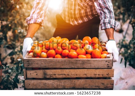 Transport and selection in the tomato harvesters harvested during the harvest in the field for ketchup. #1623657238