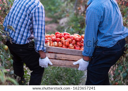 Transport and selection in the tomato harvesters harvested during the harvest in the field for ketchup. #1623657241